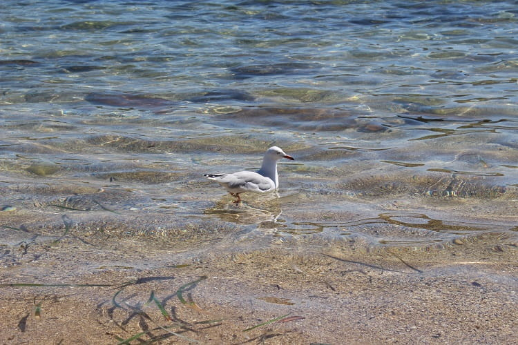 A seagull swimming at Little Bay Beach in Sydney.