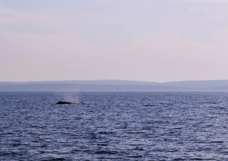Whale arcing out of the water in WA.