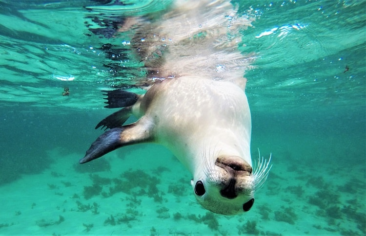 Swim with sea lions and dolphins in South Australia on the Baird Bay Ocean Eco Experience. Read my review of this intimate, family-run tour at a remote village on the Eyre Peninsula, and see amazing pictures of how you can interact with these playful creatures!