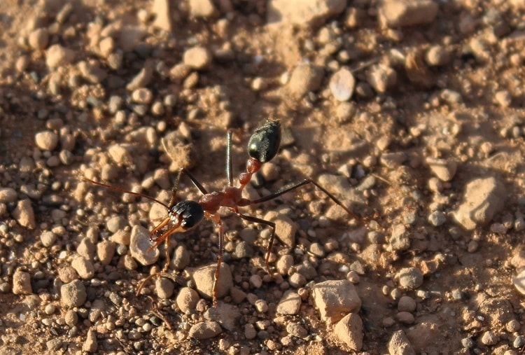 Bull ant, a common sight whilst crossing the Nullarbor Plain.