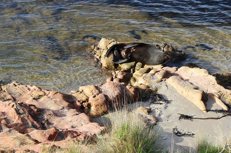 Australian Sea lion sunbathing in Mallacoota, Victoria.