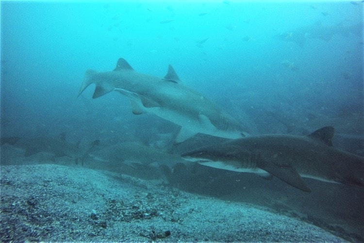 Grey nurse sharks at Fish Rock Cave in South West Rocks.