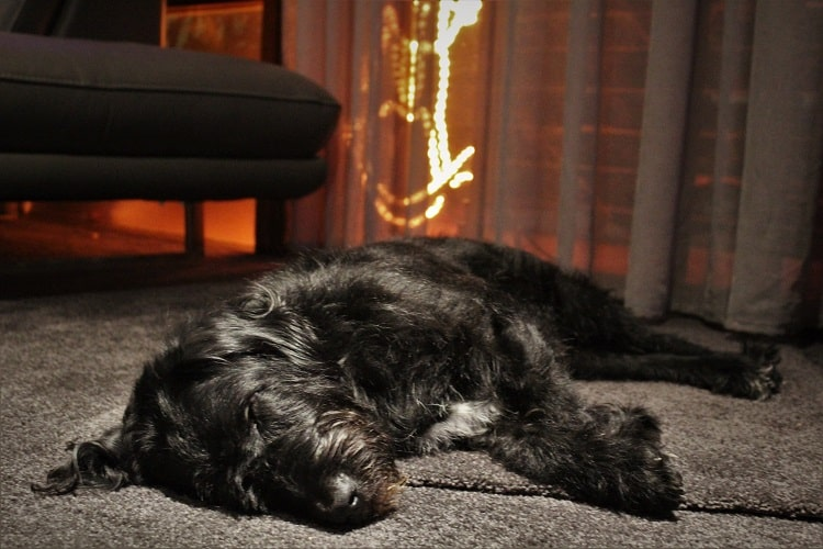 A sleeping dog in a house sit in Australia.