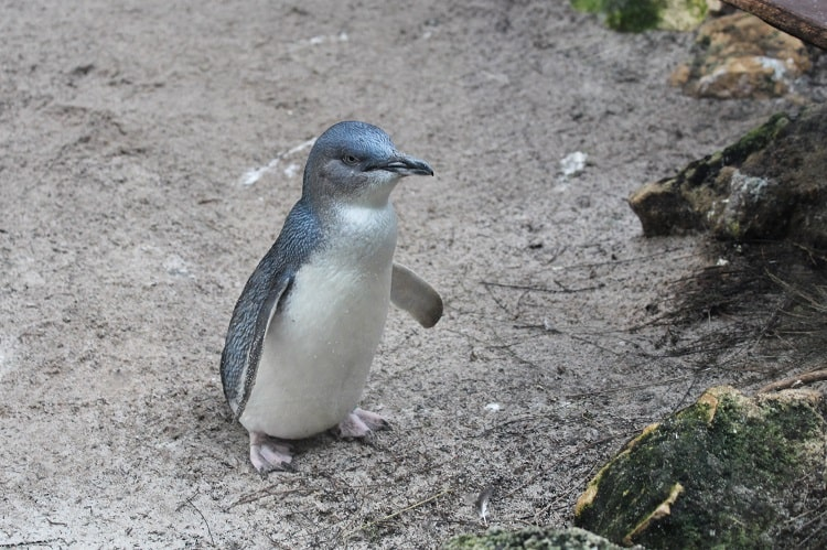 An Australian Little Penguin at Perth Zoo.
