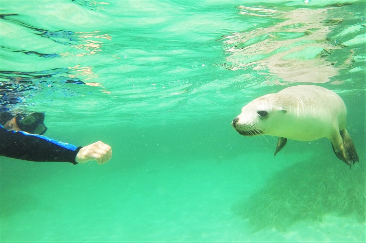 A snorkeller and sea lion on the Baird Bay Eco Ocean Experience.