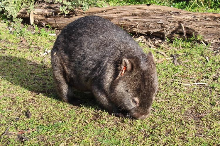 A wombat at Tidal River Campground, Victoria.