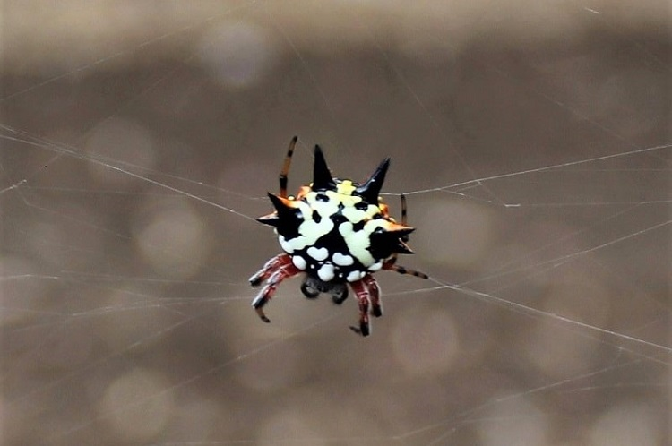 A weird Christmas Spider near Perth - one of the most unusual types of Australian wildlife.