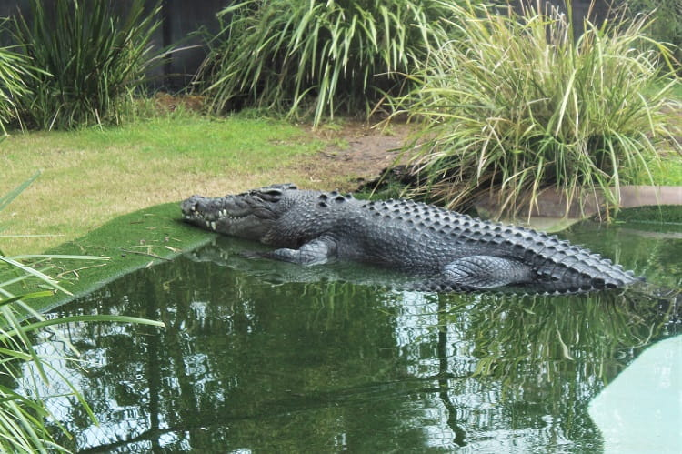 A crocodile at Perth Zoo.