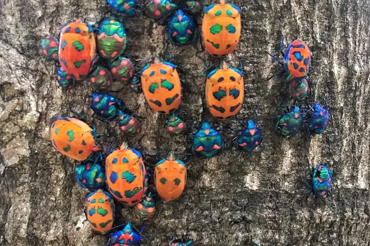 Beautiful Jewel Bugs on a tree in Sydney.