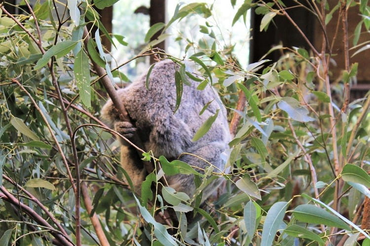 A well-known animal in Australia: the koala, sleeping up a tree.