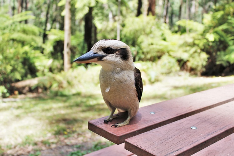 A kookaburra in the Dandenong Ranges near Melbourne.
