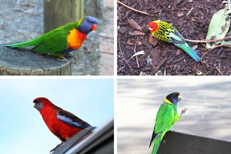 Four types of Australian parrots.