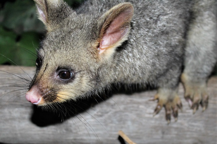 A brushtail possum at Mount Gambier, a hotspot for Australian wildlife.