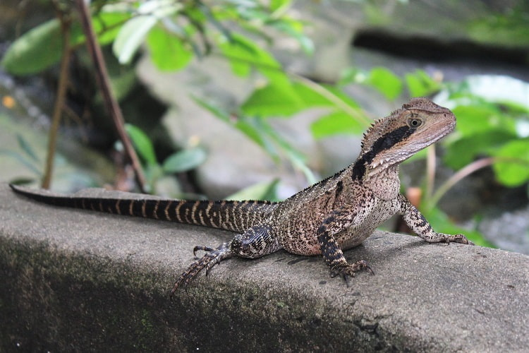 An Eastern Water Dragon in Vaucluse, Sydney, Australia.